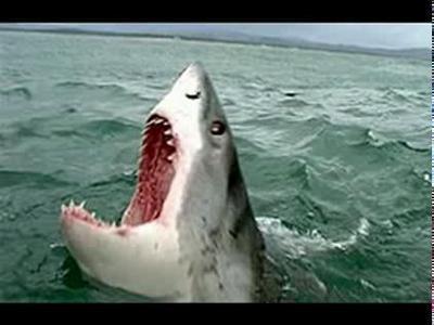 нападение большой белой акулы фото