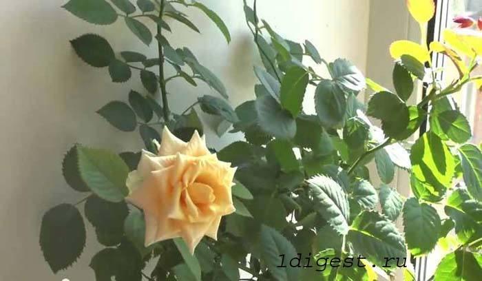 домашние розы уход