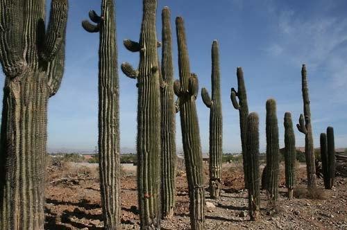 кактус Сагуаро saguaro-cactus фото