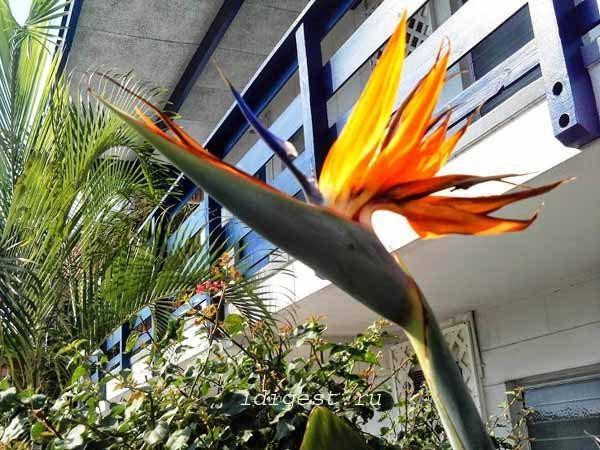 цветок райская птица фото