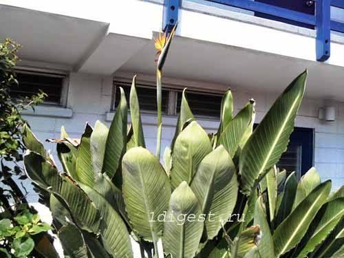 стрелиция, райская птица фото