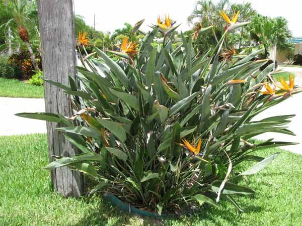 Strelitzia reginae фото