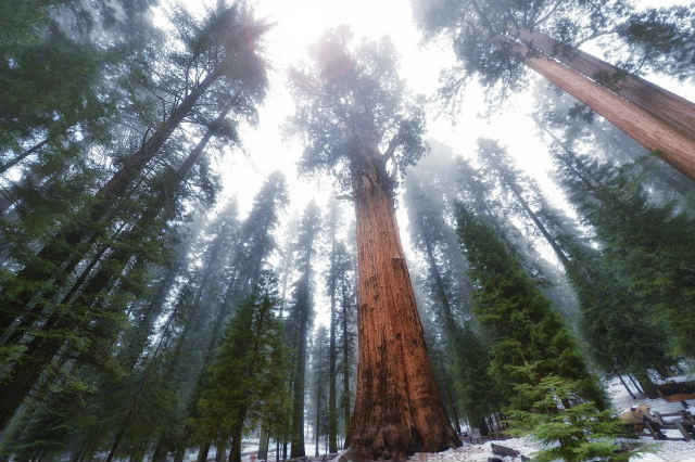 лес Гигантов, Национальный парк Секвойи в Калифорнии фото
