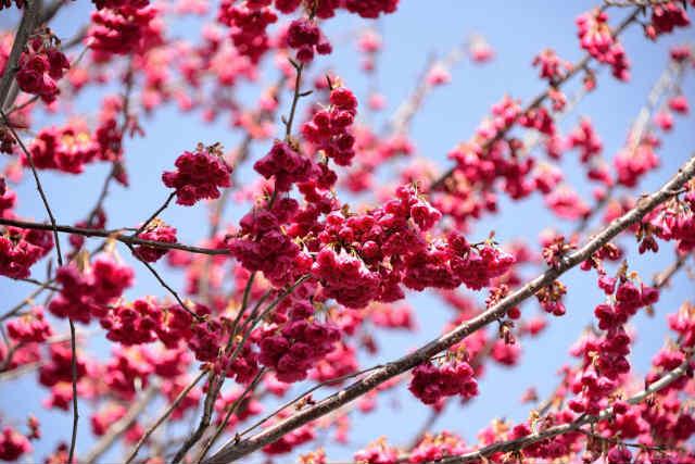 розовая сакура , Япония фото