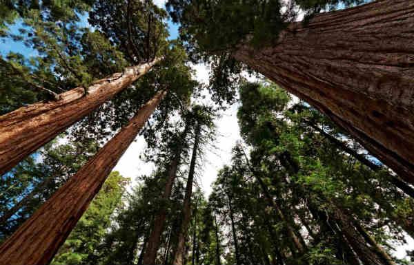 самое большое дерево в мире фото