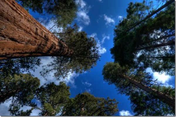 секвойи самые гигантские деревья на планете фото